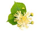 Lípa obecná (Tilia vulgaris)