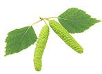 Bříza bělokorá list (Betula pendula)