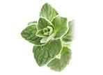 Tymián (Thymus vulgaris)